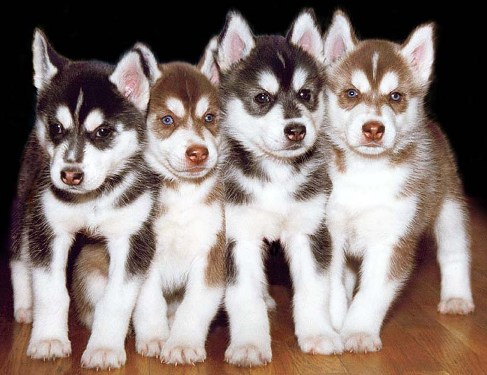 Puppies Have A Breed Of Siberian Huskies And They In The Standard Blue Eyes This Is Regardless Fact That His Closest Grandpas
