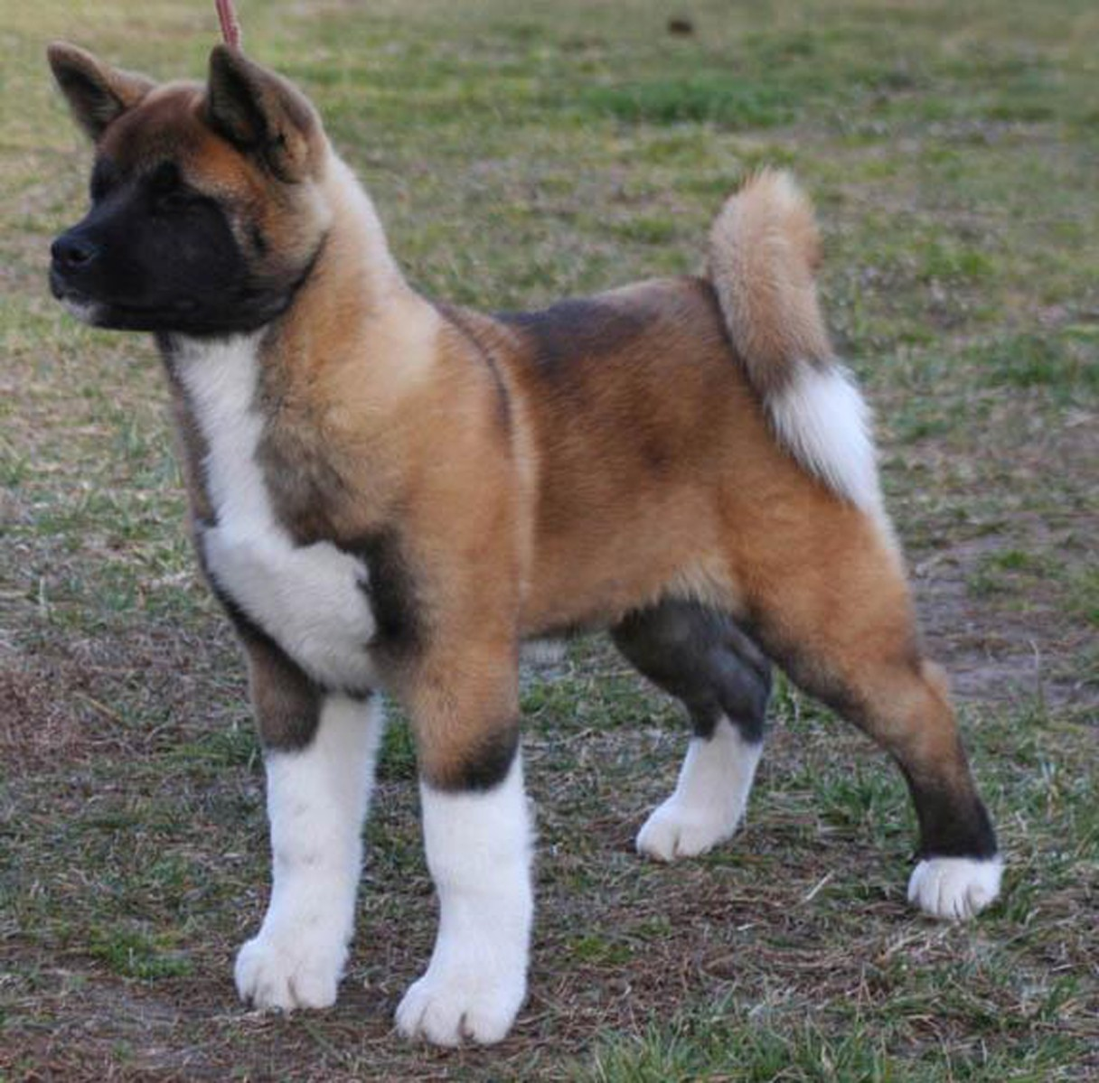 What Does An Akita Dog Look Like