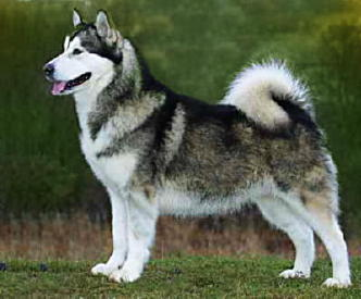 Malamute+wolf+cross