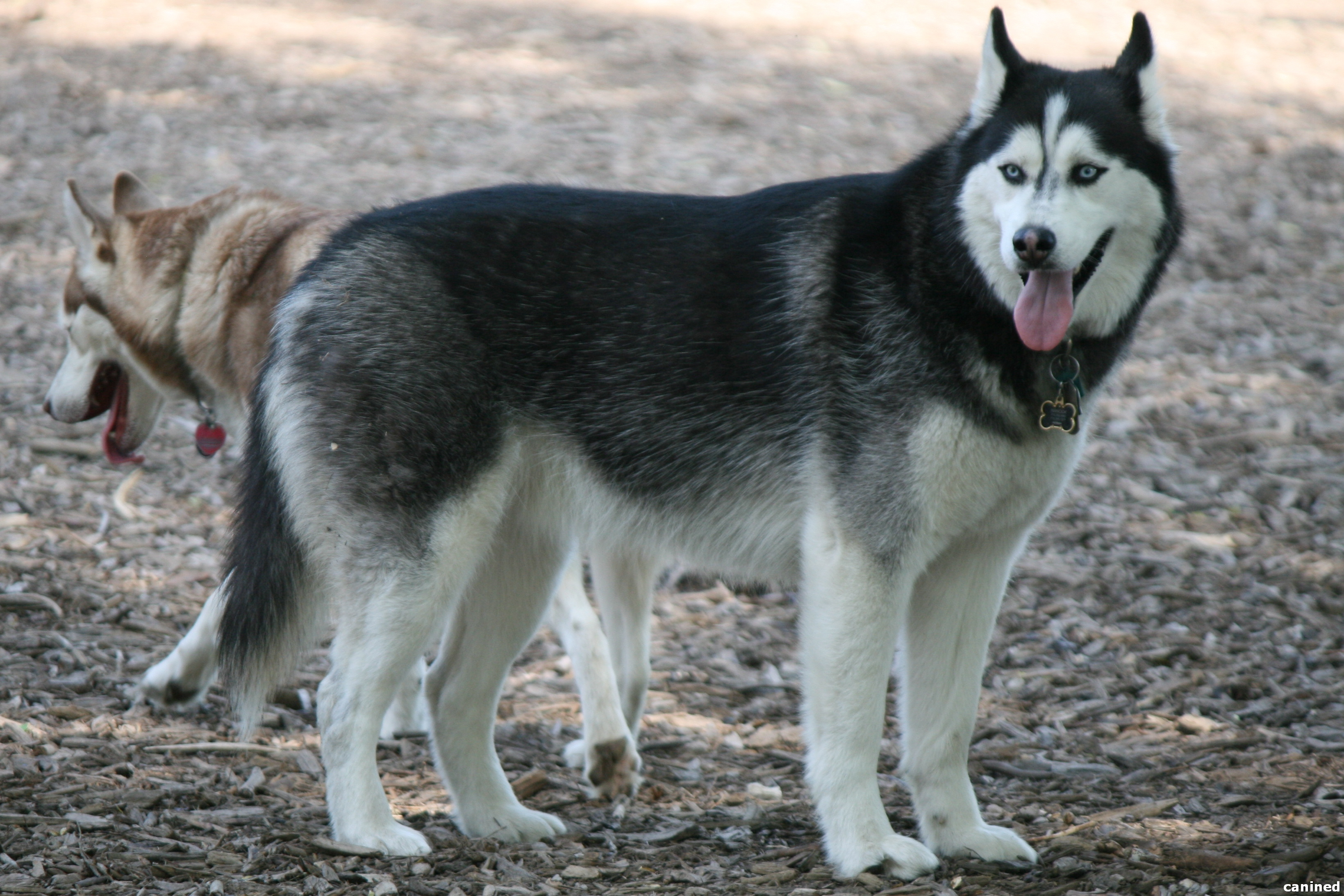 My Opinion On The Breeds Of Balto Trilogy Wolf Cihuahua Small